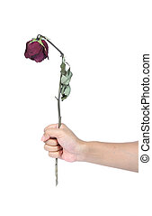 Hand holding withered roses on a white background.
