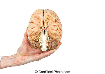Hand holds model human brain on white background