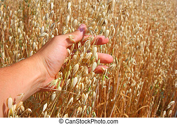 hand holds the ear of oats