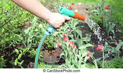 hand hose flower water - gardener girl hand hold water hose...