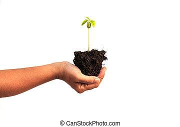 hand houdend, jonge plant, met, terrein, vrijstaand, op wit, achtergrond