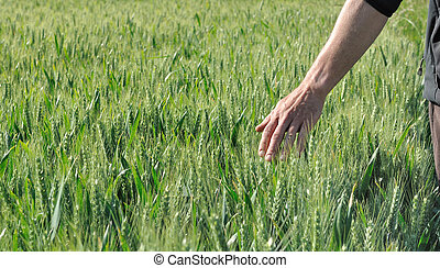 hand in a barley field
