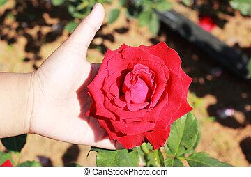 hand, mit, rote rosen, in, der, garden.