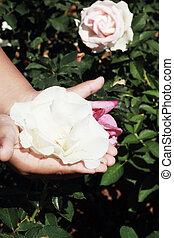 hand, mit, weißes, rosen, in, der, garden.