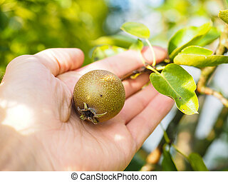 Hand of a caucasian person harvesting ripe pear from tree