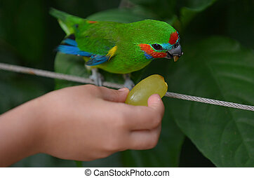 Hand of a little child feeds a Fig Parrot