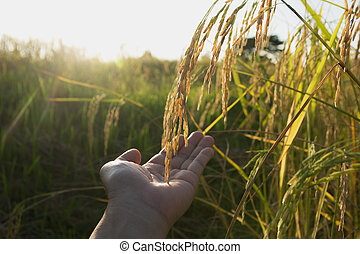 Hand of man touching rice in the rice field in the morning.