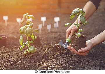 Hand of unknown gardener is using small garden shovel and holding young green basil seedling or plant in soil. Sunlight, ground. Close-up