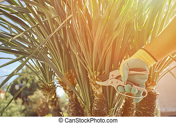 Hand of unknown worker in colorful glove is cutting green yucca or small palm tree with pruning shears on sunny backyard. Garden landscaping. Close up
