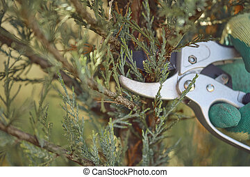 Hand of unknown worker in glove is cutting green thuja or juniper tree with sharp pruning shears on sunny backyard. Garden landscaping. Close up