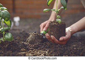 Hand of unrecognizable gardener is digging by small garden shovel and holding young green basil seedling or plant in soil. Sunlight, ground. Close-up