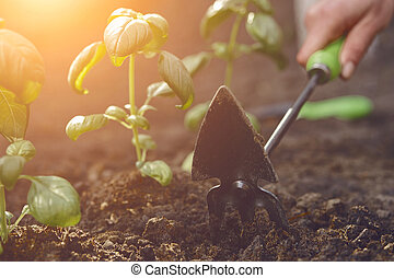 Hand of unrecognizable girl is loosening ground by small garden hoe, planting green basil seedlings in fertilized black soil. Sunny day. Close-up