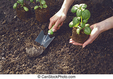 Hand of unrecognizable woman is using small garden shovel, holding green basil sprout or plant in soil. Ready for planting. Sunlight, ground. Close-up