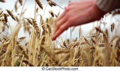 hand on wheat