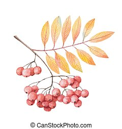Hand painted watercolor twig rowan branch with red berries...