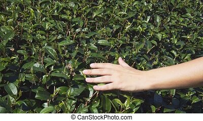 Hand pass gently over the green, glossy leaves of mature tea...