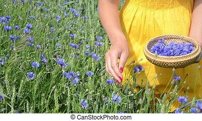 hand pick cornflower herb