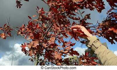 hand pick leaf autumn oak
