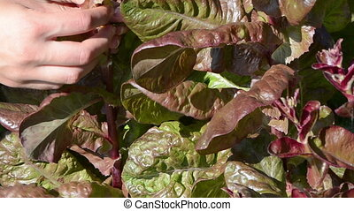 hand pick salad leaf - closeup woman hand gather pick salad...