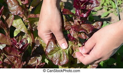 hand pick salad leaf - closeup woman hands gather pick salad...