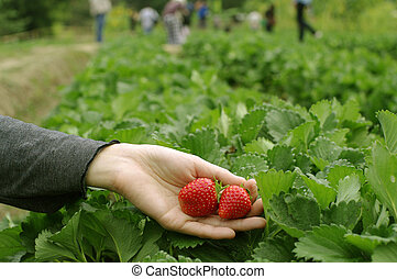 hand pick strawberries at the farm