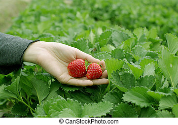 hand picked strawberries fresh from farm