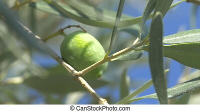 Hand picking a green olive from the tree