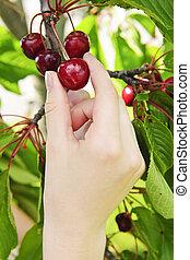 Hand picking fresh cherries from cherry tree