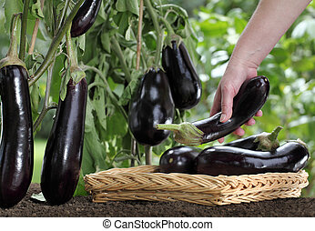 Hand picking eggplant from the plant in vegetable garden, with wicker basket close up