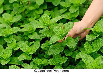 Hand picking mint plant in garden