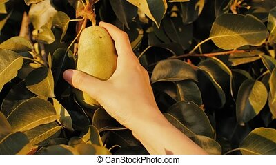 A woman's hand picks a ripe pear from a tree branch.