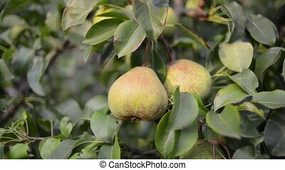 picking pear fruit - hand picking pear fruit from tree by...