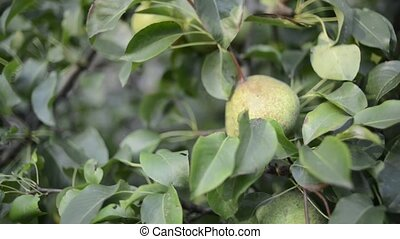 picking pear fruits - hand picking pear fruits from tree...