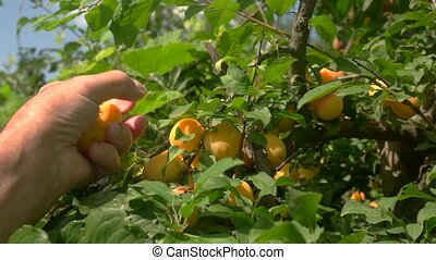 Hand picking plums from tree. Yellow fruits and green...