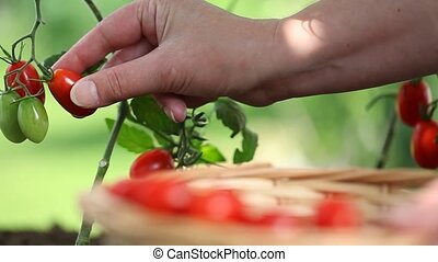 Hand picking tomatoes from plant to vegetable garden, with wicker basket