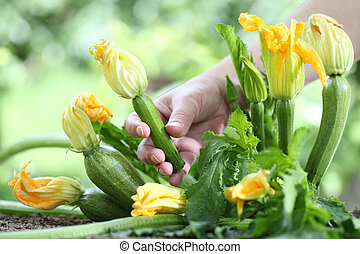 Hand picking zucchini flowers in vegetable garden, close up