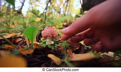 Hand picks Amanita mushroom in the forest in autumn