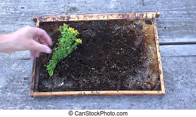Hand placing herb on honeycomb - Hand placing herb and...