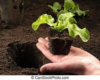 Hand planting a seedling, closeup