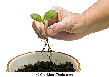 Hand Planting Baby Plant