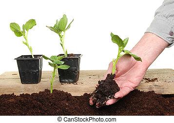 Hand planting seedling