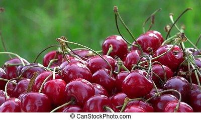 Hand put ripe cherry berries on sunlight in garden. Rotating turntable