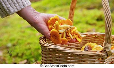 hand putting mushrooms into basket in forest - picking ...