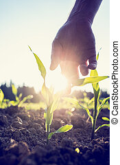 Hand reaching down to a young maize plant - Retro image of ...