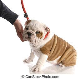 hand reaching down to pet an english bulldog puppy on a...