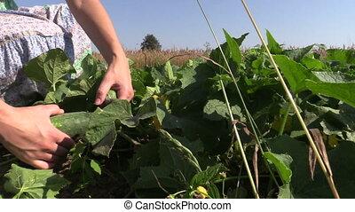 hand reap cucumber garden - girl hand reap ripe green...