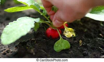 hand takes ripe red radish from the ground - hand takes...