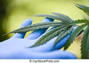 Hand touch Marijuana leaves cannabis plant tree growing on green background / Hemp leaf