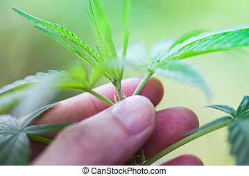 Hand touch Marijuana leaves cannabis plant tree growing on nature green background