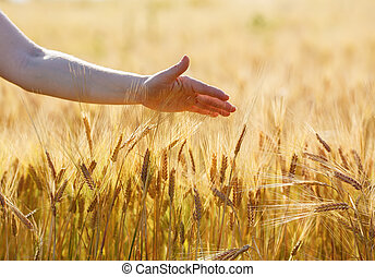 Hand touches wheat ears